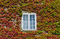 White window covered by creeper ivy Royalty Free Stock Photo