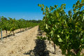 White wine grape riping in the south vineyards Provence Royalty Free Stock Photo