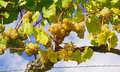 White wine grapes  Royalty Free Stock Image