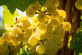 White wine grapes close up of sun lit hanging on vine Stock Image