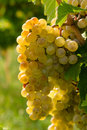White wine grapes hanging on vine in late afternoon sun Stock Photos