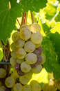 White wine grapes small bunch of hanging on vine backlit by afternoon sun Stock Images