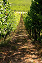 White wine vineyard in Alsace Royalty Free Stock Photos