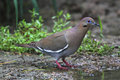 White-winged Dove Stock Images