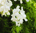 White wistaria flower spring blossom in nature Royalty Free Stock Images