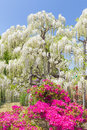 White wisteria blooming in spring season beauty Stock Photography