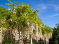 White wisteria trellis with bright clear blue sky background Royalty Free Stock Photography