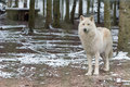 White Wolf in the great outdoors Royalty Free Stock Photo