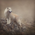 White wolf at the night Stock Photos