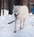 White wolf running at the snow Royalty Free Stock Photo