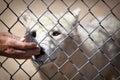 Biely vlk v azyl šnupanie ruka