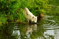 White wolf with water reflection Royalty Free Stock Photos