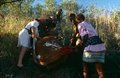 A white woman and other workers moving a dead cow, South Africa Royalty Free Stock Photography