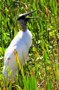 White wood stork mouth open a closeup of a standing in the wetlands in delray beach south florida Stock Photos