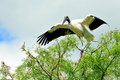 White Wood stork on tree branch in wetland Royalty Free Stock Photo