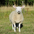 White Woolly Sheep Stock Images