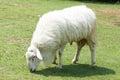 White Woolly Sheep Royalty Free Stock Photo