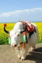 White  yak Royalty Free Stock Photo