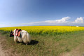 A white yak in the rape seed field Royalty Free Stock Photo