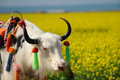 White  yak in the rape seed field Royalty Free Stock Photos