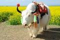 White yak in the rape seed field