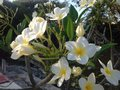 White and yellow beauties plumeria flowers blooms blossoms fragrant Royalty Free Stock Photography