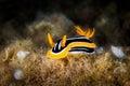 White yellow and black nudibranch underwater photo philippine philippines Royalty Free Stock Photos