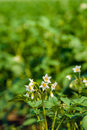 White and yellow budding and blossoming potato plants from close Royalty Free Stock Photo