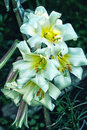 White with yellow cream lilies close up Royalty Free Stock Photo