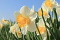 White and yellow daffodils in full sunlight blue sky Stock Image