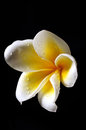 White and yellow Frangipani flower Stock Photography