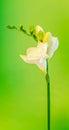 White With Yellow Fresia Flowe...