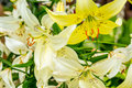 White and yellow lilies in the garden Royalty Free Stock Photo