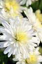 White and Yellow little Chrysanthemum. Stock Photos