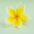 White and yellow pagoda flower closeup of Royalty Free Stock Photos