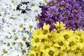 White yellow purple Chrysanthemum flower abstract background Royalty Free Stock Photo