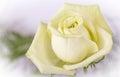 White yellow rose closeup Royalty Free Stock Photo