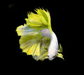 Yellow betta fish, fighting fish, Siamese fighting fish isolated on black background, Clipping path included