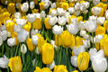 White and yellow tulips large patch in the garden with only in two colors symbol of spring easter valentine s day Royalty Free Stock Photography