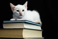 White young baby cat on a black background Royalty Free Stock Image
