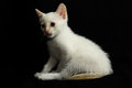White young baby cat on a black background Royalty Free Stock Photos