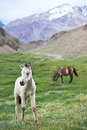 White young horse on green grass pasture Royalty Free Stock Images