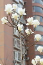 The white yulan flowers are blooming in front of residential building Stock Images