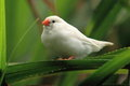 White zebra finch Royalty Free Stock Image