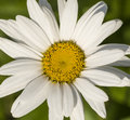 Whitedaisy the white daisy is a common flower in europe and asia introduced to north america Stock Photo