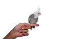 Whiteface cockatiel pet tame bird parrot nymphicus hollandicus mutation sitting on a hand isolated on white background Royalty Free Stock Photography
