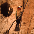 Whitefronted Bee-eater Stock Image