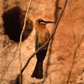 Whitefronted Bee-eater Royalty Free Stock Photo