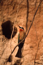 Whitefronted Bee-eater Stock Photography