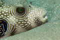 Whitespotted puffer (arothron hispidus) close-up. Royalty Free Stock Photo